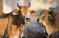 कश्मीरी छात्र ने गाय को लेकर किया आपत्तिजनक पोस्ट, जांच शुरू